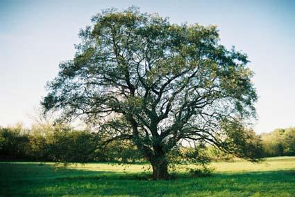 Cultureel brabant cubra bomen chaam zwarte els - Deksel van de boom ...