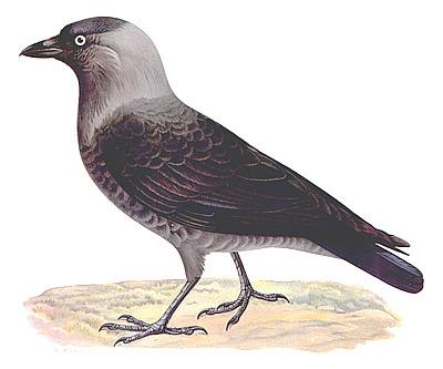 machinaal straten crow